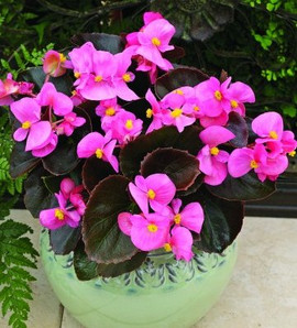 Begonia Bada Boom Pink