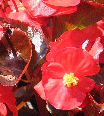 Begonia Bada Boom Scarlet