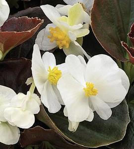 Begonia Bada Boom White