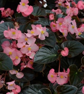 Begonia Megawatt Pink With Bronze Leaf