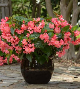 Begonia Megawatt Rose With Green Leaf