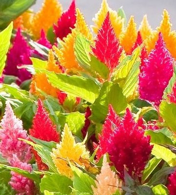 Celosia Castle Mix