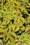 Coleus Kong Jr Lime Vein