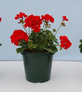 Geranium Americana Dark Red