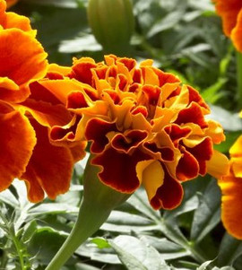 Marigold Safari Scarlet