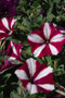 Petunia Easy Wave Burgundy Star