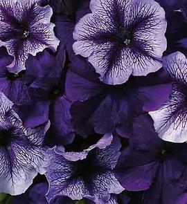 Petunia Fuseables Pleasantly Blue
