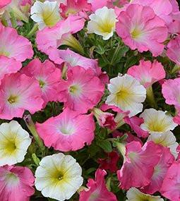 Petunia Fuseables Rise N Shine