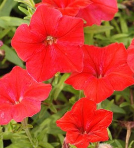 Petunia Madness Red
