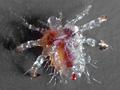 crab-louse.jpg