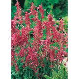 Agastache  Heather Queen