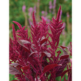 Amaranthus Velvet Curtains
