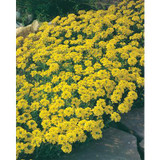 Alyssum Saxatile Gold Dust