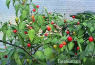 Chiltepin Tarahumara Chilli Image, Chillies on the Web
