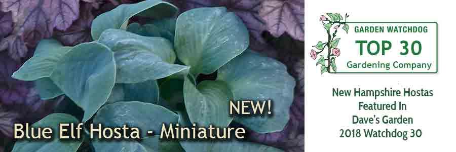 Blue Elf Hosta - a new miniature hosta for 2018