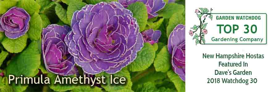 Primula Amethyst Ice - beautiful flower