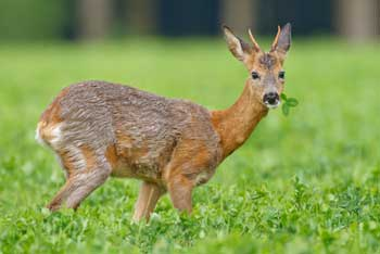 How to Keep Deer Away From Your Hostas Organic Deterrents