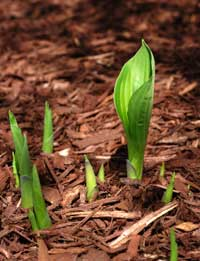 hosta-sprouting.jpg