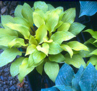 Coconut Custard Hosta - 3 Inch Container