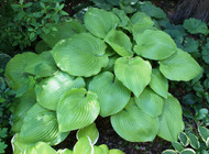 Sum and Substance Hosta - Two Gallon