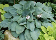 Blue Mammoth Hosta - 4.5 Inch Container