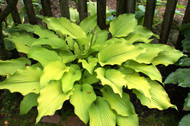 Sun Power Hosta - 4.5 Inch Container