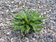 Dixie Chick Hosta - 3 Inch Container