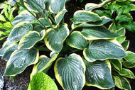 Battle Star Hosta - 4.5 Inch Container