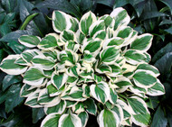 Diamonds are Forever PPAF Hosta - 65mm Starter Plug