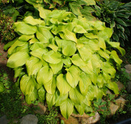 Fried Bananas Hosta - 4.5 Inch Container