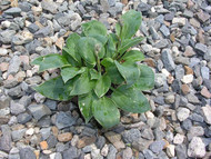 Dew Drop Hosta - 3 Inch Container