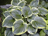 All That Jazz Hosta Courtesy of Olga Petryszyn