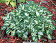 Pandora's Box Hosta - 35mm Starter Plug