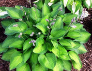Sweet Home Chicago Hosta - 4.5 Inch Container