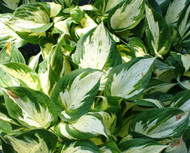 Revolution Hosta - 4.5 Inch Container