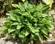 Allan P McConnell Hosta From NH Hostas