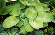 Golden Friendship Hosta - 4.5 Inch Container