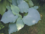 Sky Dancer Hosta - 4.5 Inch Container
