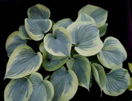 Secret Ambition PP19507 Hosta - 4.5 Inch Container