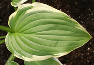 Summer Fragrance Hosta - 4.5 Inch Container