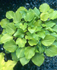 Crumb Cake Hosta - 3 Inch Container