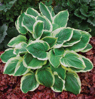Royal Wedding PPAF Hosta Starter Plug