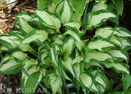 Allegan Fog Hosta from NH Hostas