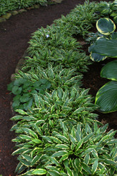 Stiletto Hosta - 3 Inch Container