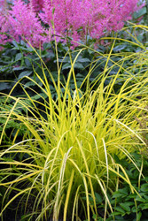 Carex elata 'Bowles Golden' - 65mm Starter Plug