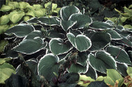 Frosted Jade Hosta - 4.5 Inch Container