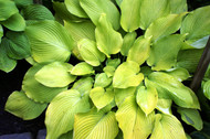Daybreak Hosta - 4.5 Inch Container