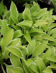 Lemon Frost Hosta - 4.5 Inch Container