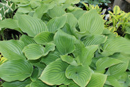 Chodai Ginyo Hosta - Two Gallon