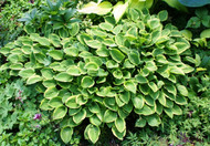 Golden Tiara Hosta - 4.5 Inch Container